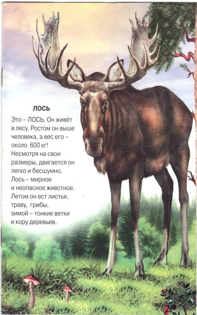 Лось: описание животного, чем питается, враги, популяция