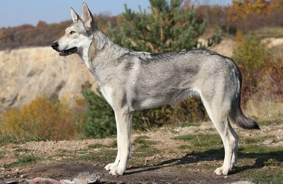 Русский вольфхунд — фото, описание породы собак, особенности
