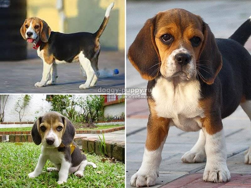 Бигль: фото, описание породы собак, характер и цены