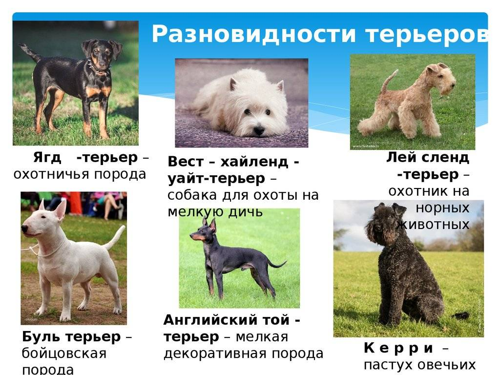 Популярные породы собак среднего размера: описание пород
