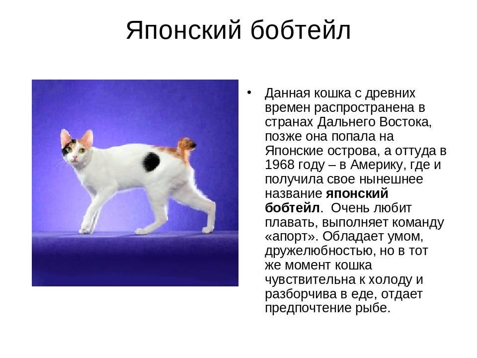 Японский бобтейл - порода кошек - информация и особенностях | хиллс