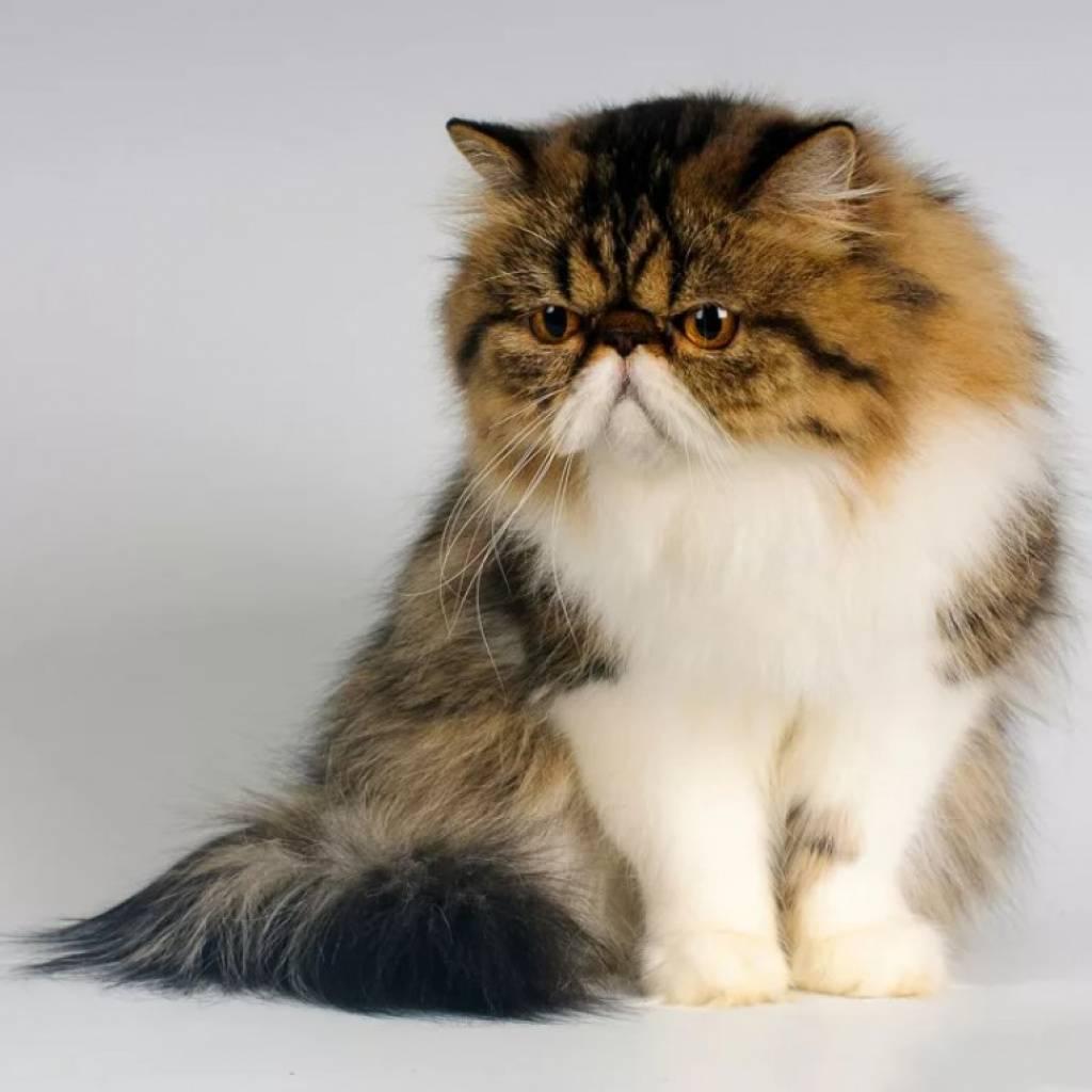Персидская кошка: описание породы ифото, уход исодержание, цена котят + отзывы