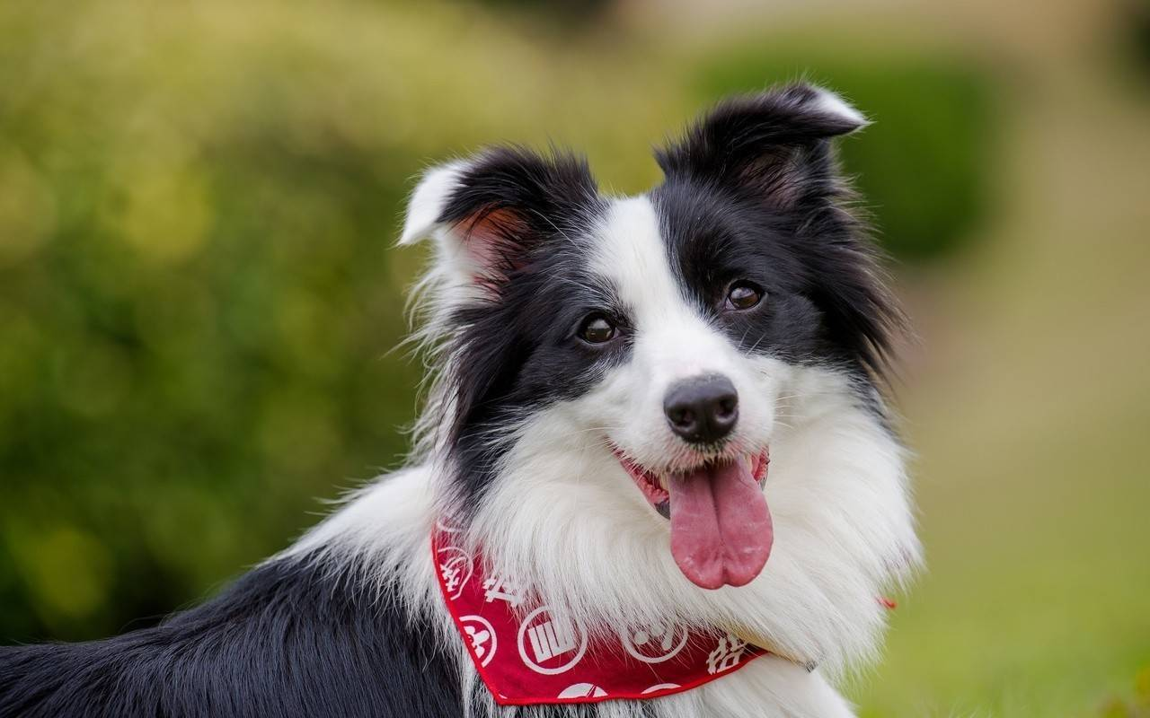 Интеллект собаки: умная или красивая?