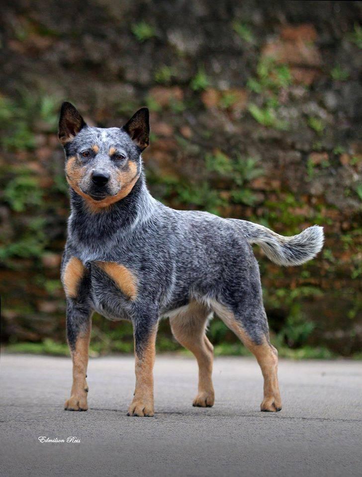 Австралийская пастушья собака (хилер или кеттл дог): описание породы, с фото, видео и отзывами владельцев