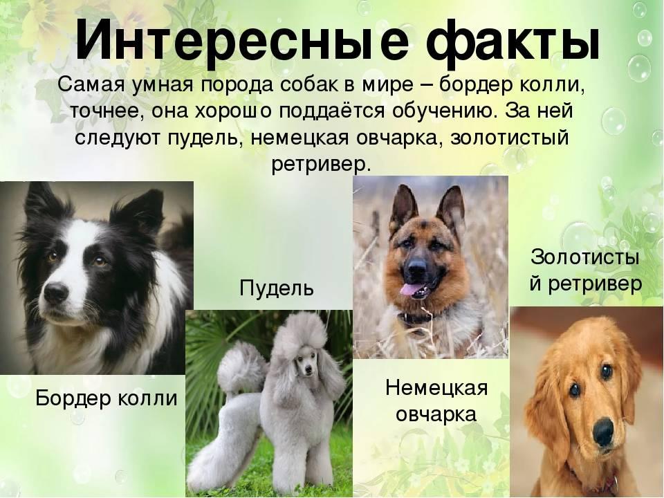 Самые умные породы собак. описание, названия, виды и фото умных пород собак | животный мир
