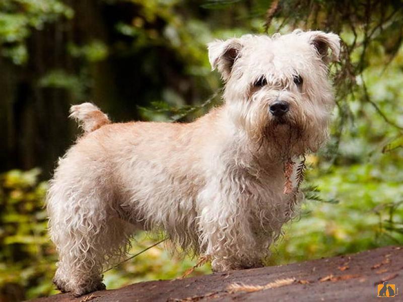 Ирландский глен оф имаал терьер: описание породы, характер, фото | все о собаках