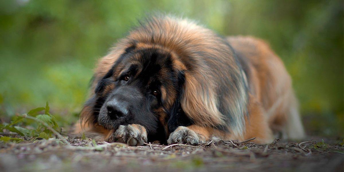 "Порода собак леонбергер: здоровье, особенности ухода и характер | блог ветклиники ""беланта"""