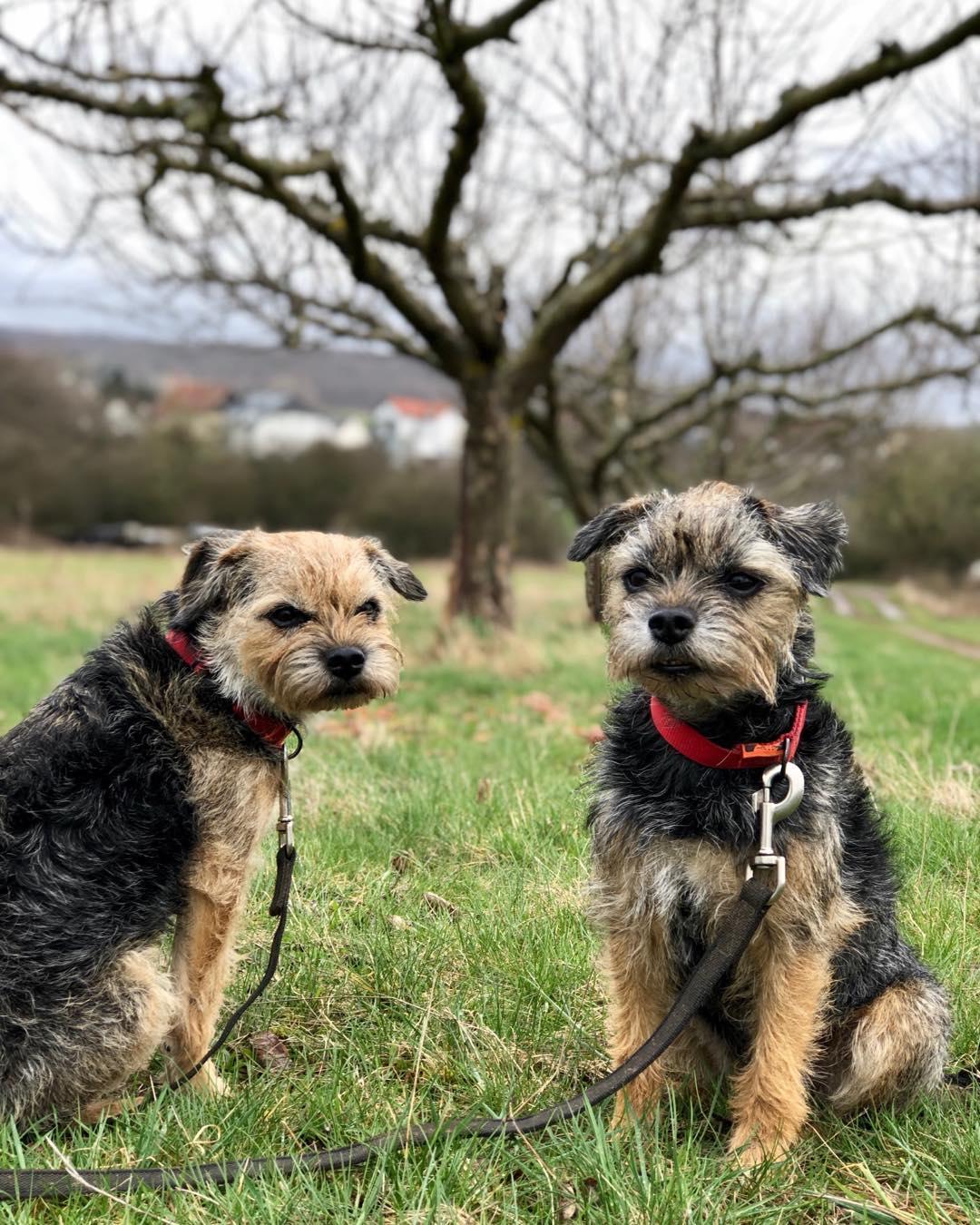 Бордер терьер: 95 фото и видео описание ухода и особенностей содержания собаки