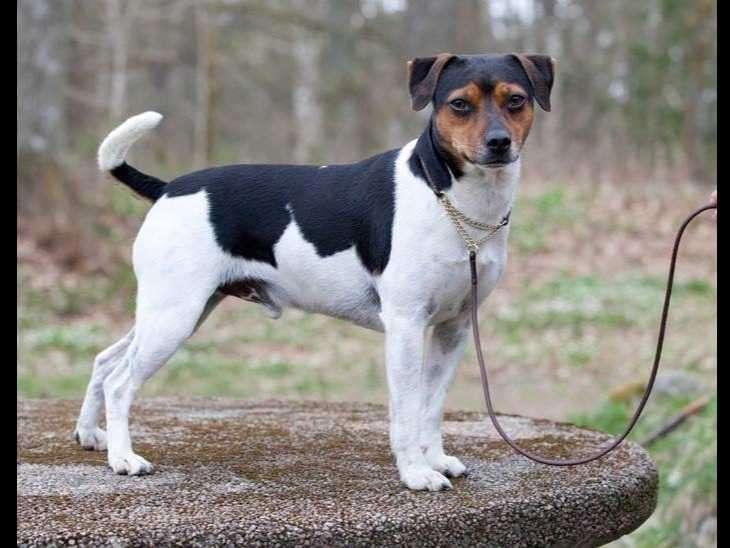 Датско-шведская фермерская собака - gaz.wiki