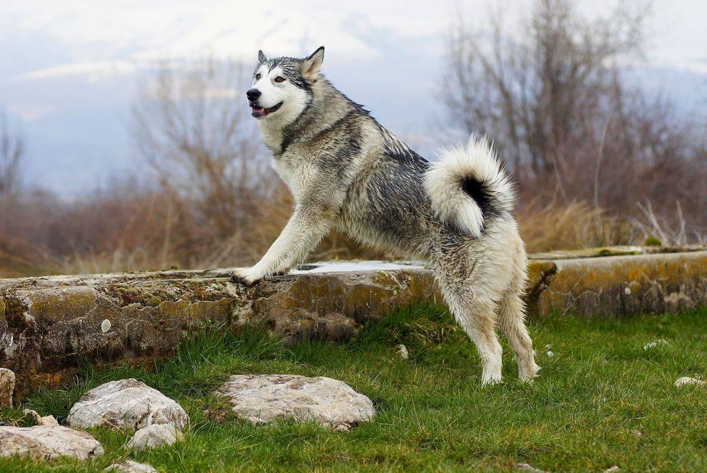 Аляскинский маламут: характер, описание породы, цена щенков, фото