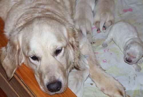 Продолжительность течки у лабрадоров - кошки и собаки простыми словами