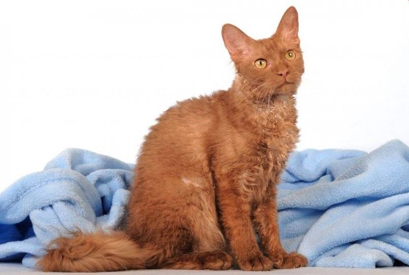 Лаперм кошка. описание, особенности, уход и цена кошки лаперм | животный мир