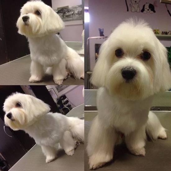Мальтийская болонка собака. описание, особенности, уход и цена мальтийской болонки | sobakagav.ru