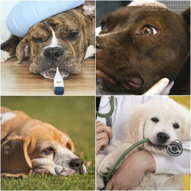 Инфекционные заболевания собак: описание, симптомы, лечение