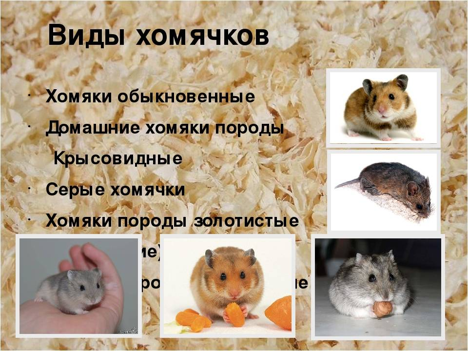 Какие бывают хомяки: разновидности, особенности породы и обитания, нюансы содержания и ухода за домашним животным