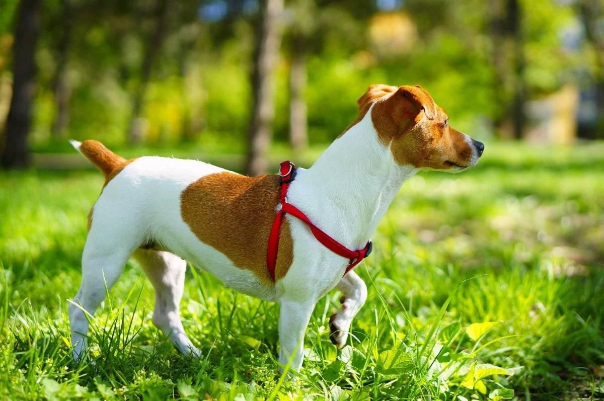 Порода собак парсон рассел терьер - описание, характер, характеристика, фото парсон рассел терьеров и видео, цена