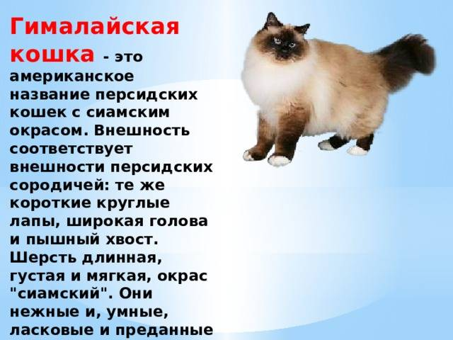 Гималайские кошки: внешний вид, характер породы и правила ухода