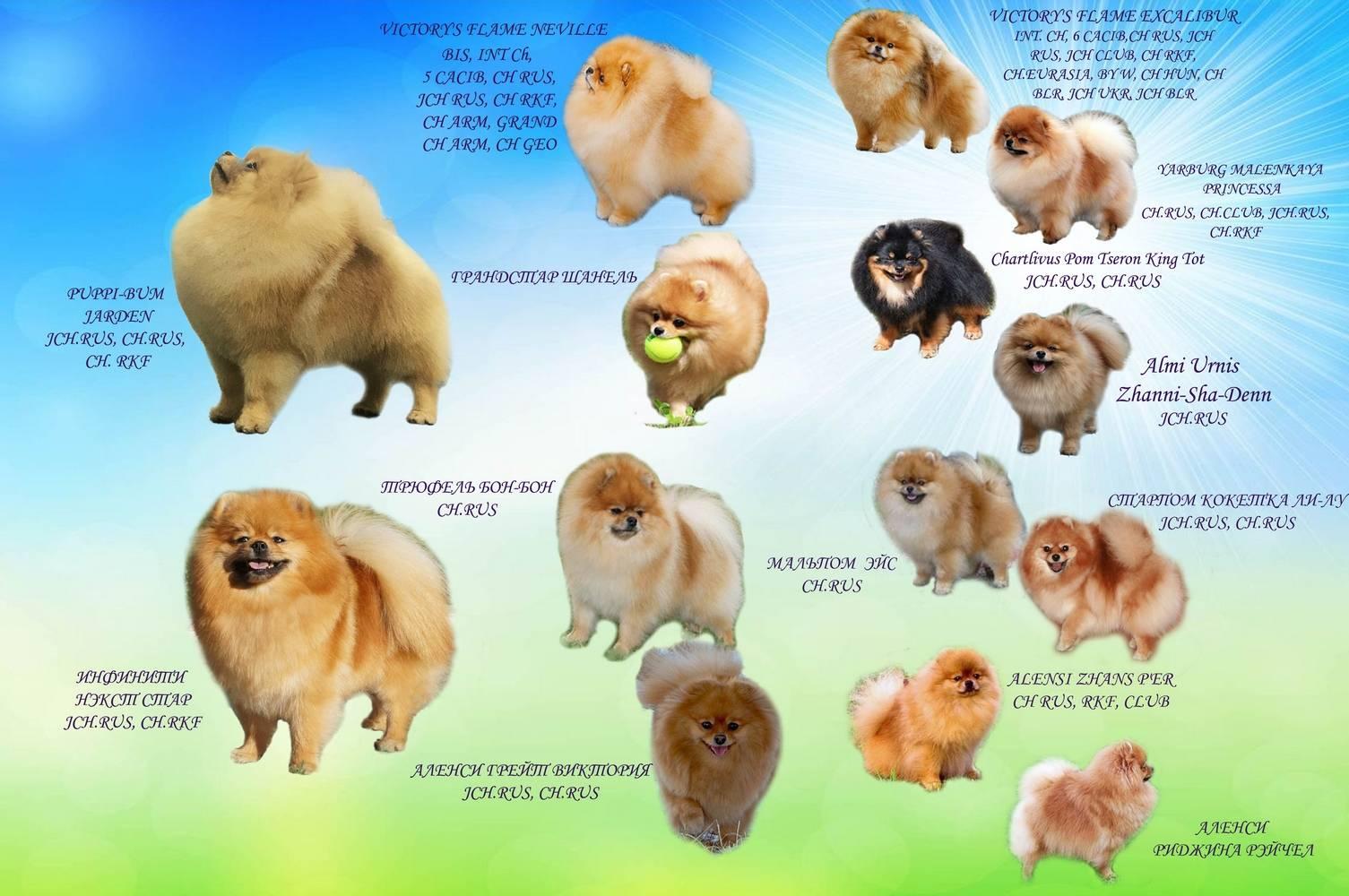 Померанский шпиц плюсы и минусы породы: описание внешнего вида, уход, характер собаки, фото, видео