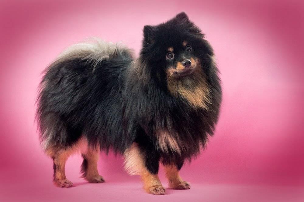 Черный померанский шпиц: фото собак, варианты окраса, черты характера, особенности ухода и как выбрать будущего питомца