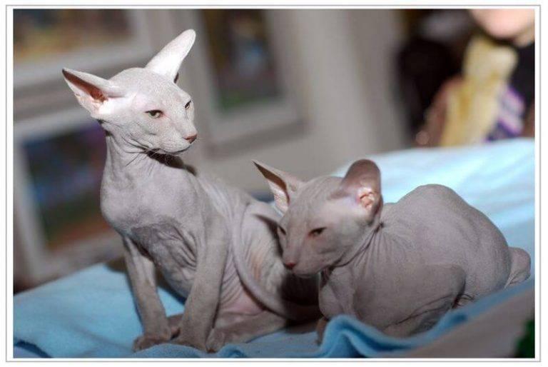 Сфинксы: разновидности, окрасы, уход, стоимость, здоровье лысых кошек