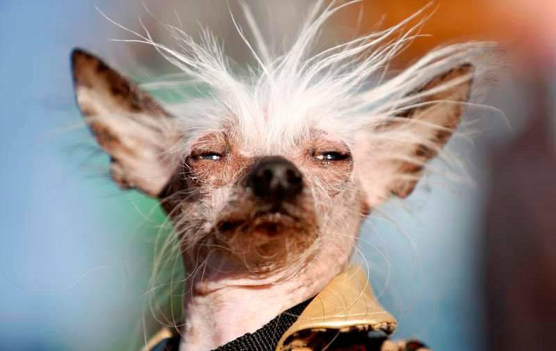 Самая уродливая собака в мире: конкурс некрасивых пород