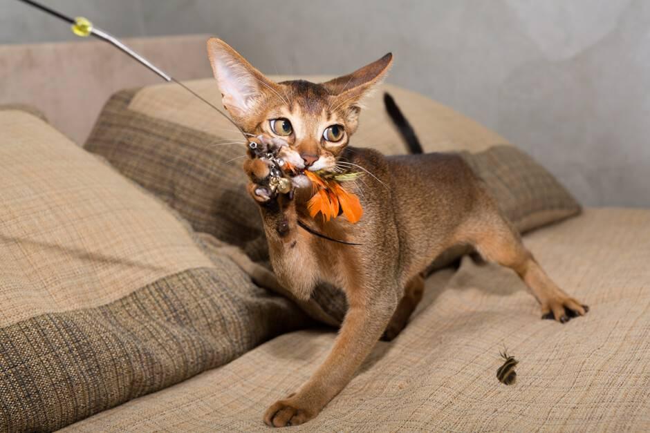 Абиссинская кошка - фото, цена, характер и поведение, питомники в москве, в санкт-петербурге, достоинства и недостатки, размеры и вес, болезни, содержание и уход