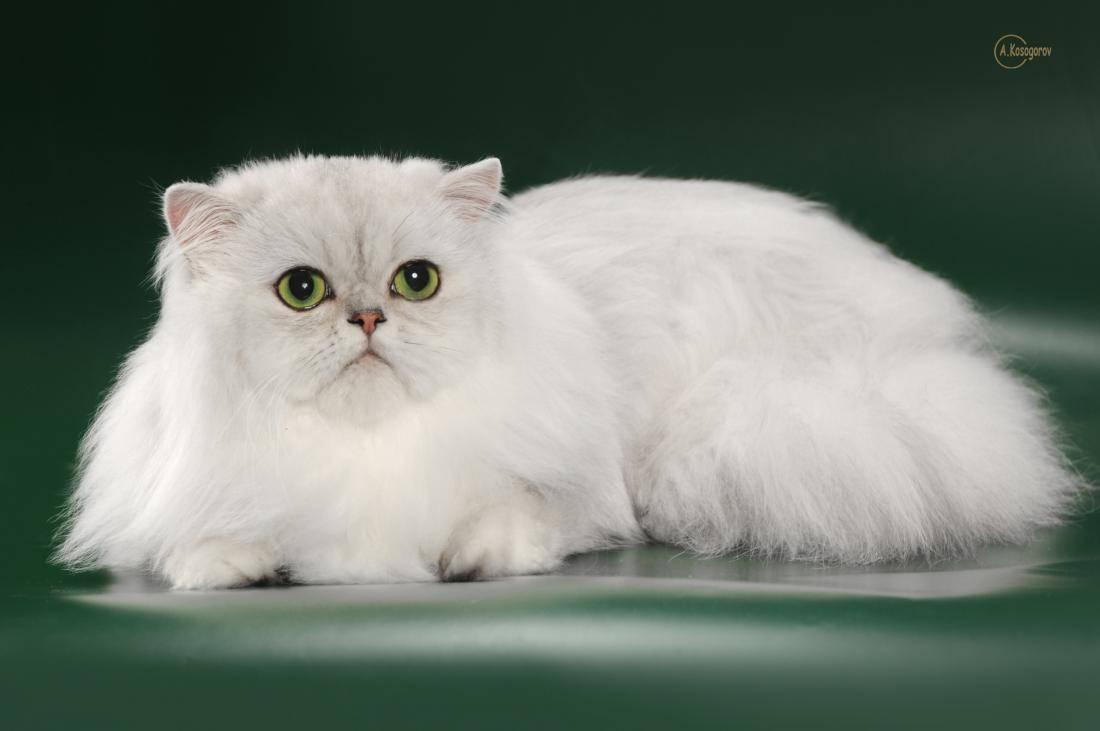 Персидская шиншилла: описание породы и характера кошек