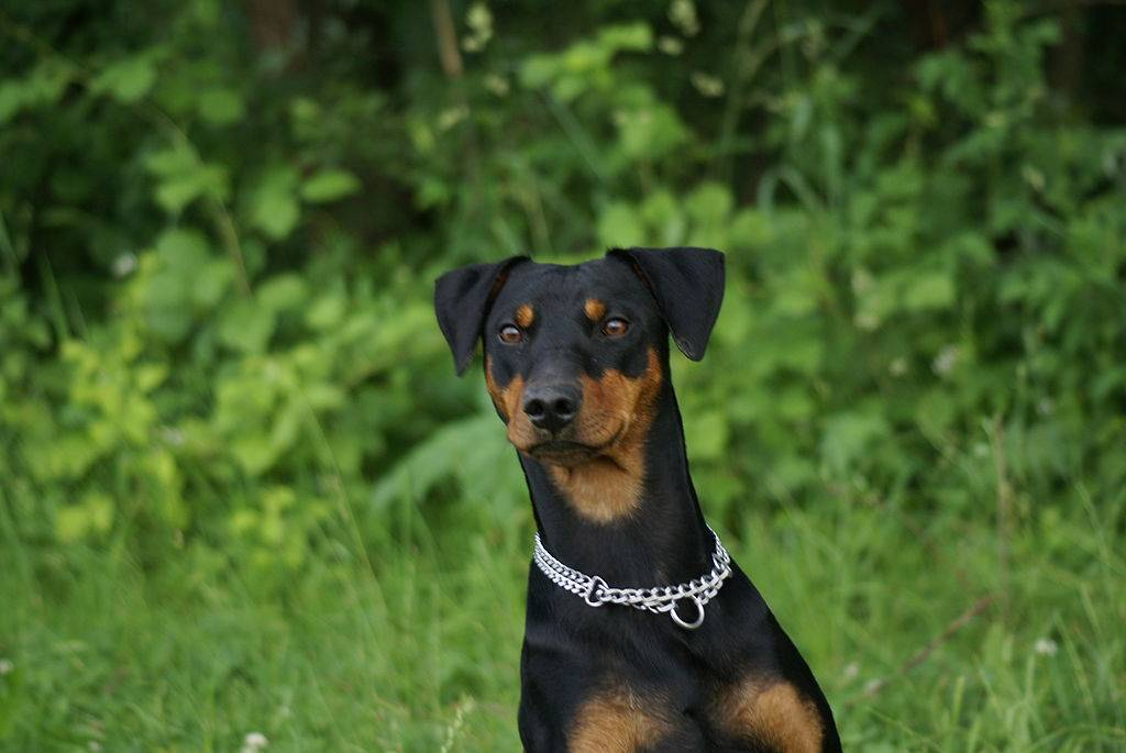 Описание породы собак немецкий пинчер с отзывами владельцев