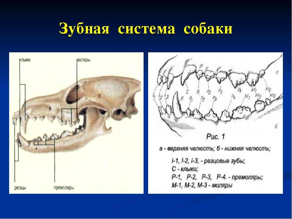 Нумерация зубов в стоматологии. сегменты челюсти.