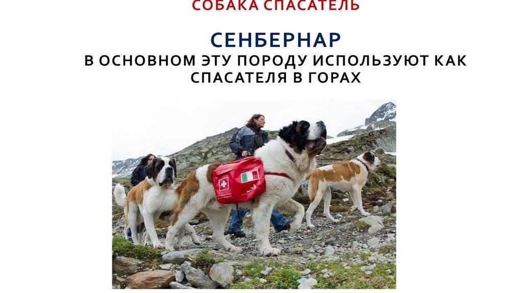 """Породы собак-спасателей   блог ветклиники """"беланта"""""""