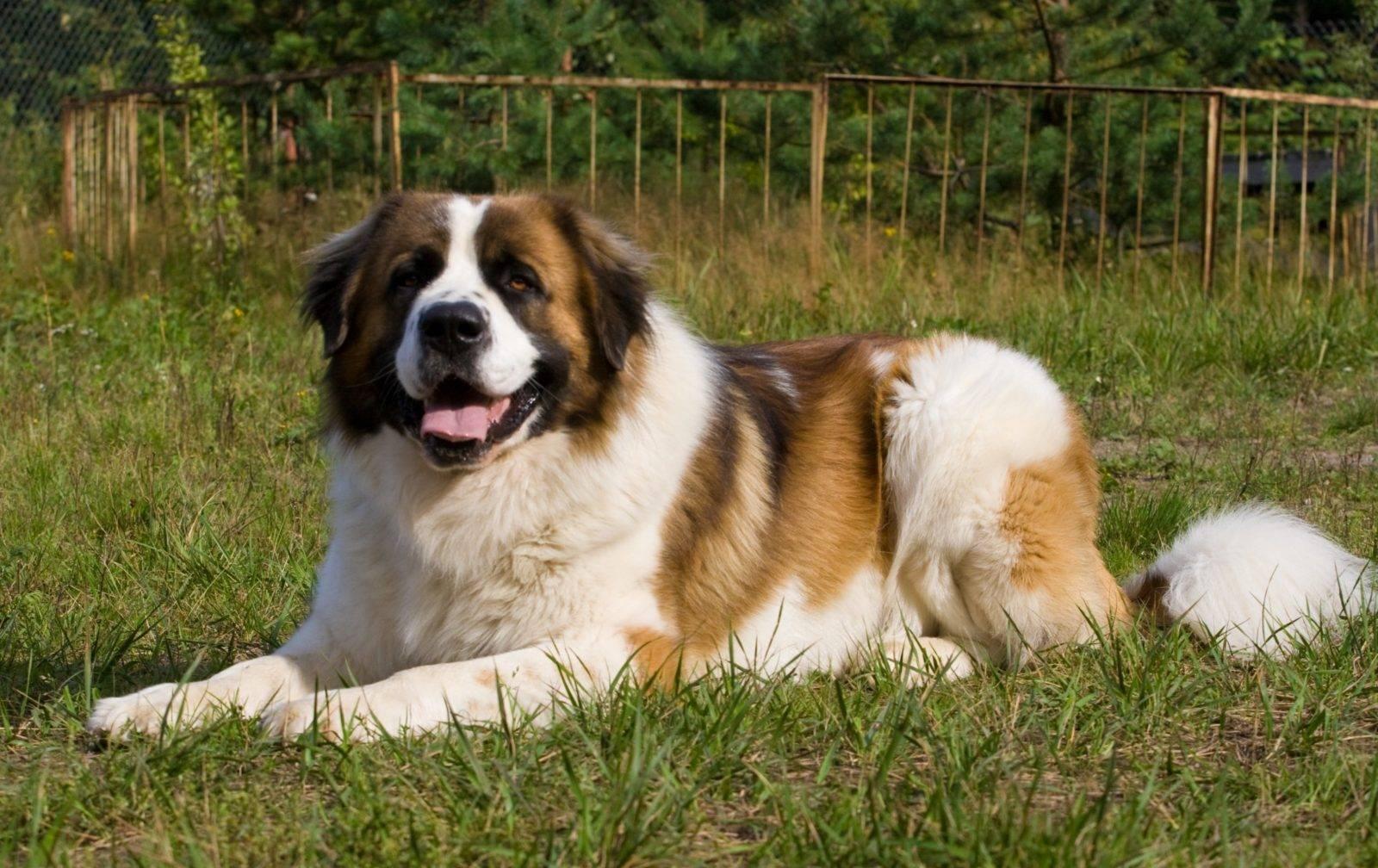 Московская сторожевая собака. описание, особенности, уход и цена московской сторожевой | животный мир