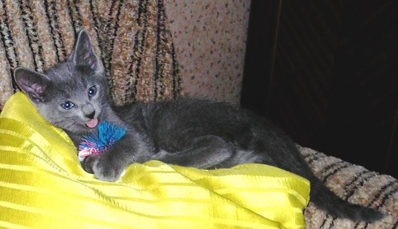 Питомник русских голубых кошек rusalia