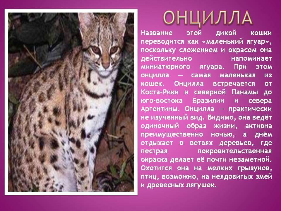 Андская кошка: описание породы, ареал обитания, питание и повадки кота