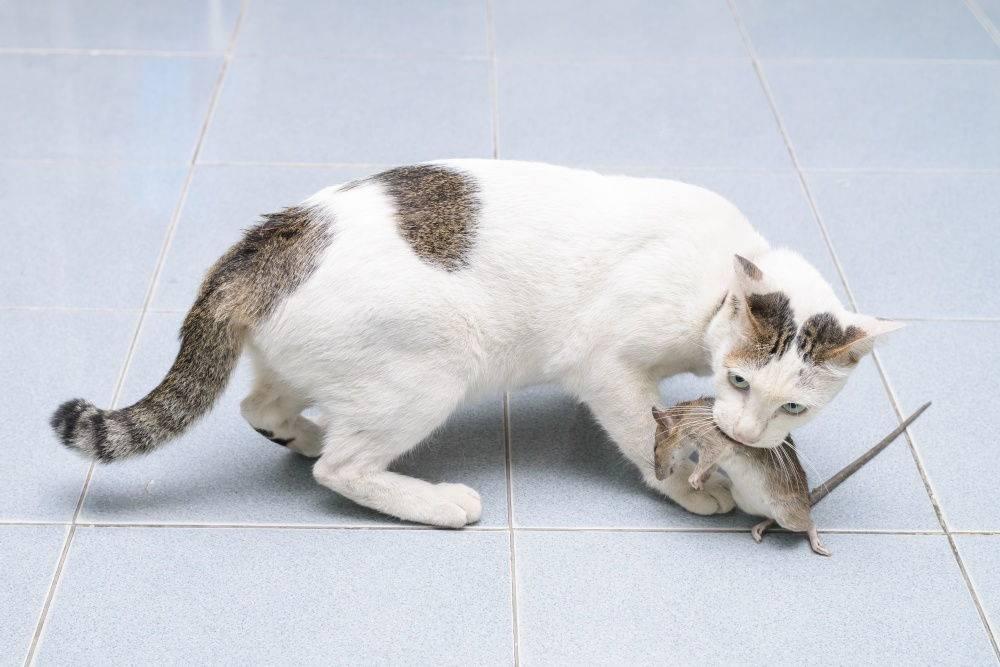 Кот крысолов порода описание