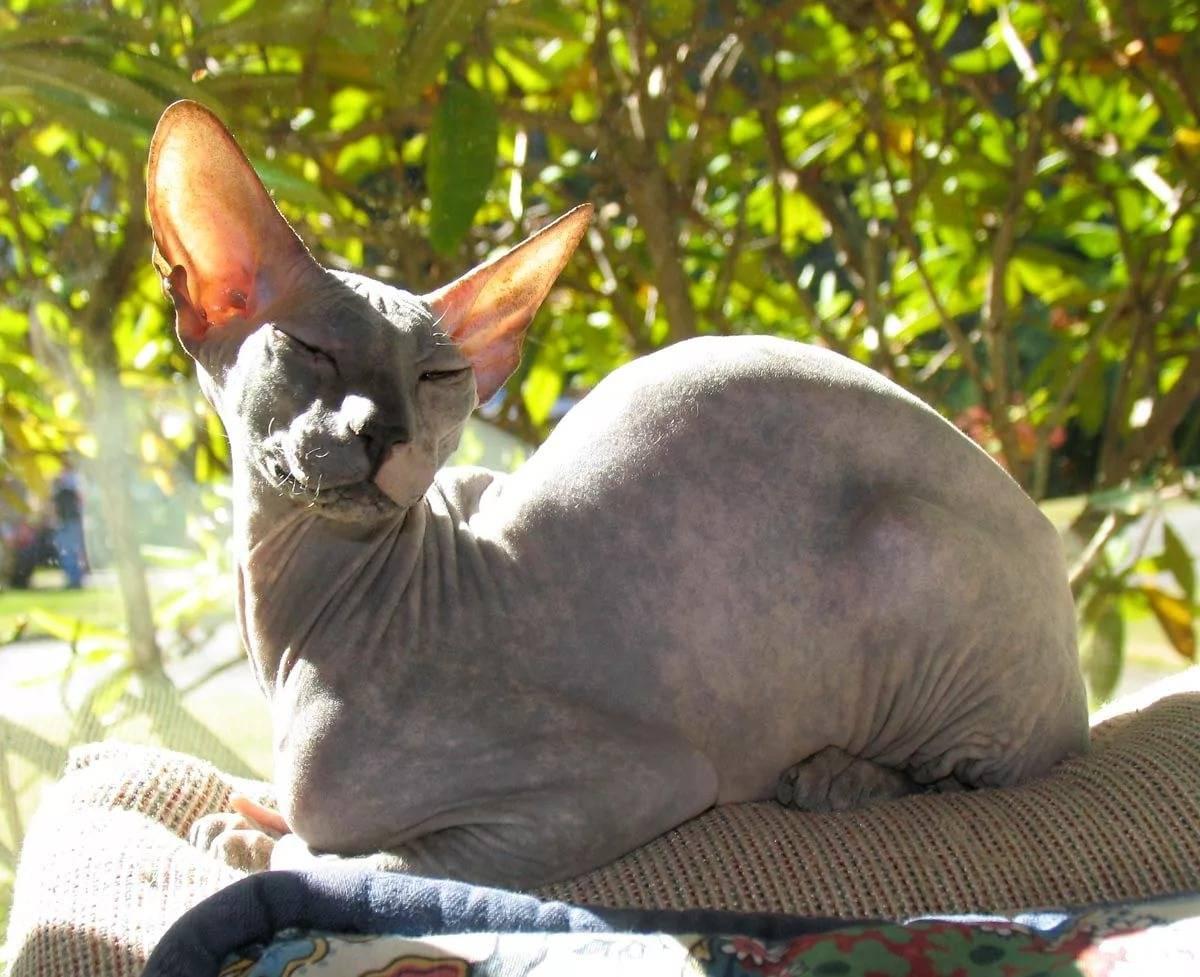Петерболд: цена, характер породы, описание, 33 фото