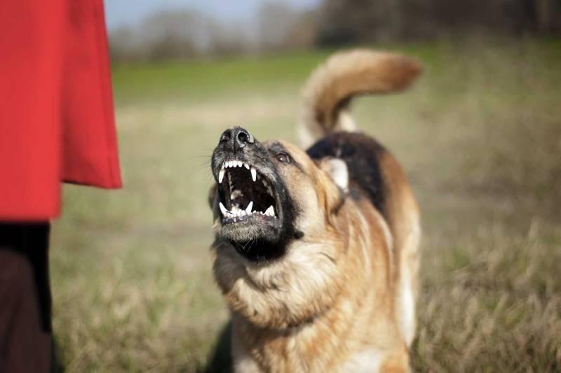 Собака рычит на хозяина и кусается: что делать
