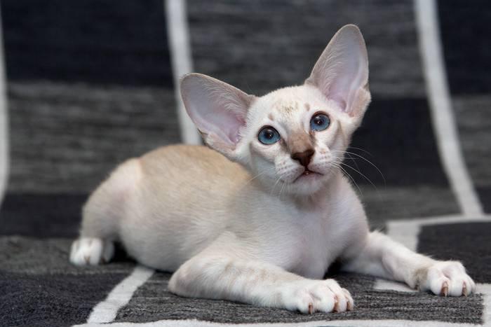Анатолийская кошка: фото, описание породы, характер, достоинства и недостатки, сколько стоит