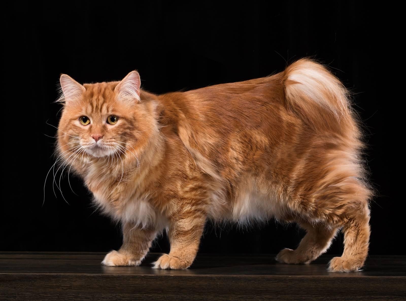 Как выглядит кот курильский бобтейл, фото, уход и здоровье