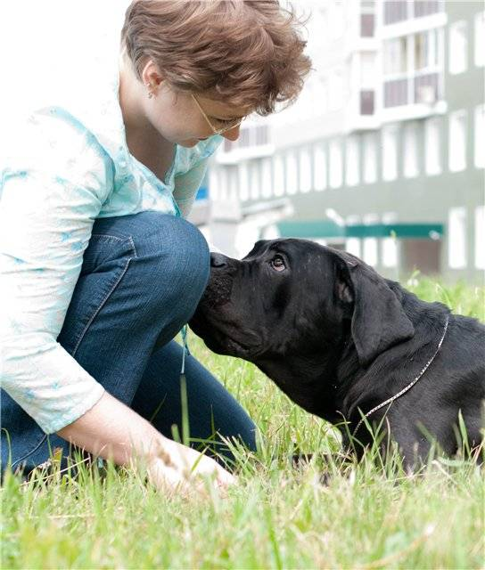 Кане-корсо — описание породы и цена   dog-care - журнал про собак