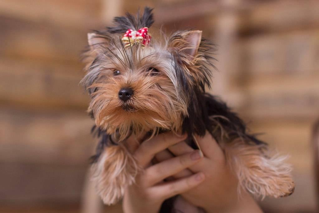 Сколько живут йоркширские терьеры в домашних условиях: до скольких лет и какая продолжительность жизни мини собачек