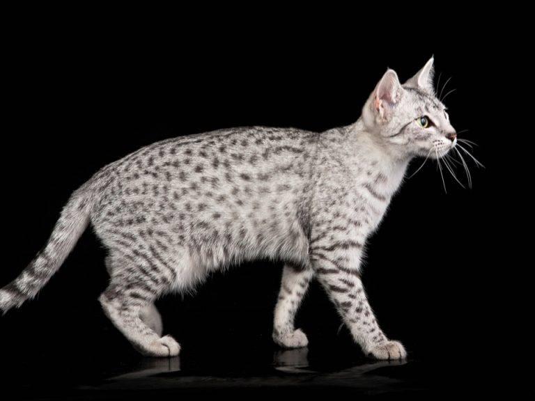 Описание породы кошки египетская мау: описание, уход, характер