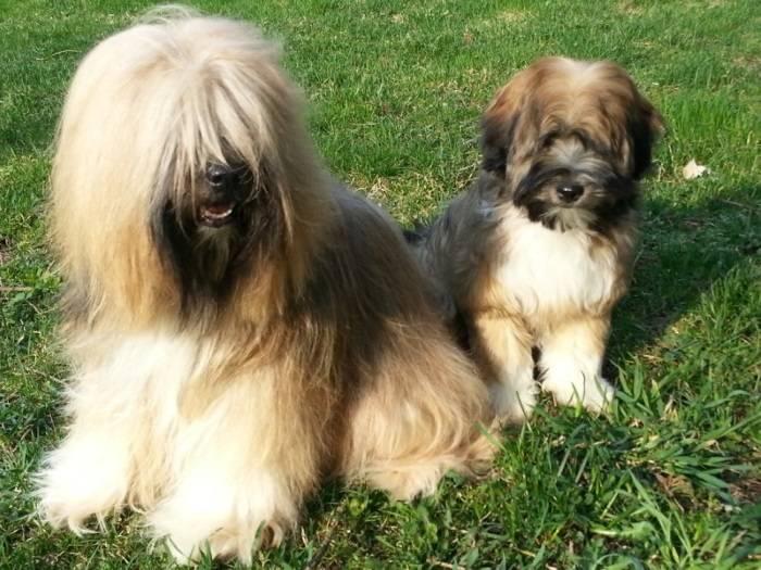Тибетский терьер: описание породы собак с фото и видео