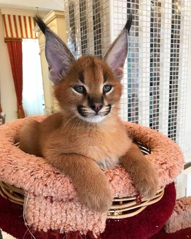 Экзотические кошки каракал