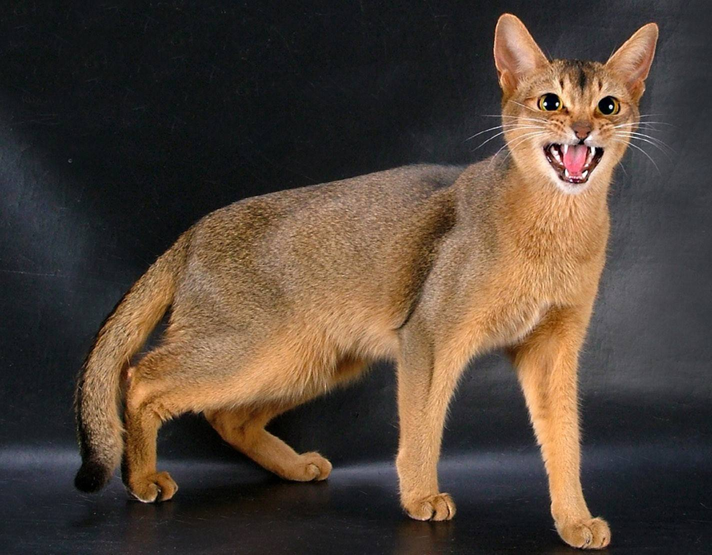 Цейлонская кошка — википедия