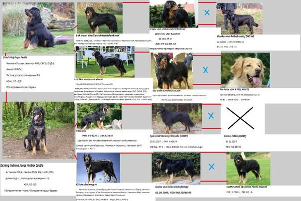 Характеристика собак породы ховаварт с отзывами и фото
