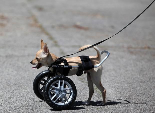 Отказ задних лап у собаки. лечение. | доктор панда