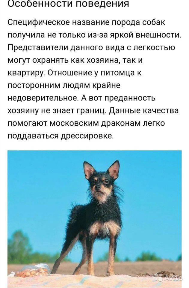 Московская сторожевая собака: все о собаке, фото, описание породы, характер, цена