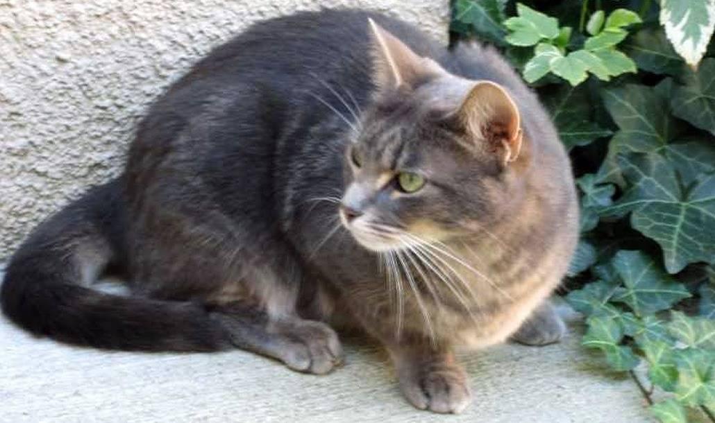 Бразильская короткошерстная кошка: описание, характер, уход, фото   кот и кошка