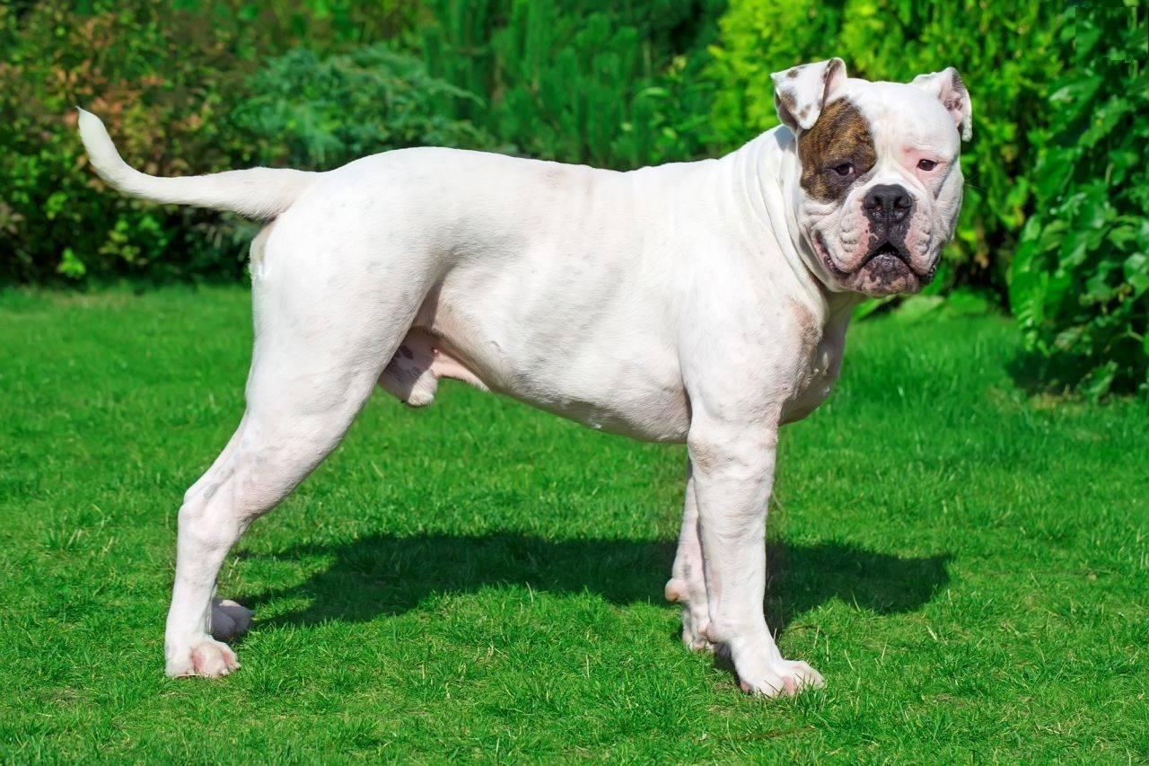 Бульдоги (63 фото): описание породы собак, французская, карликовая, континентальная и другие разновидности, характер маленьких щенков