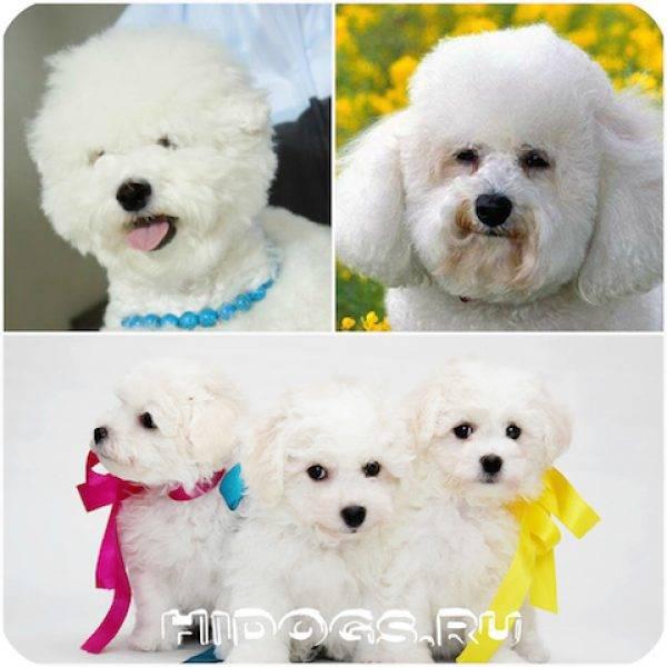 Бишон фризе: описание породы собак, отзывы, плюсы и минусы, уход и содержание
